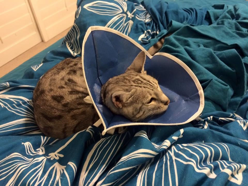 Bailey suffering in her cone-of-shame